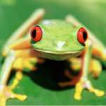Picture of a small green frog with orange eyes.