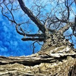 Photograph of a gnarled tree, showing against a blue sky
